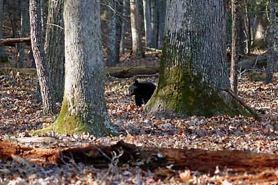 Black Bear Cub. Taken in Great Smoky Mountains National Park, Cades Cove area.
