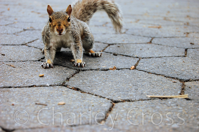 Nelson the Central Park Squirrel. New York, NY (2 Aug 2008)