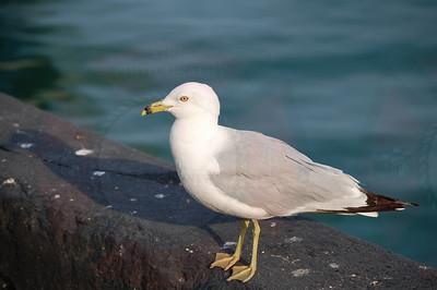 Ring bill Gull (Illinois)