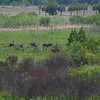 Grazing Bison, Paynes Prarie