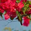 Vervain Hummingbird - St. Thomas, U.S. Virgin Islands