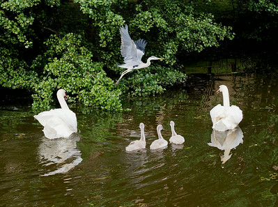 Heron, swan and cignets