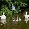 Heron, swan and cignets