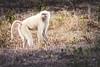 Albino Baboon