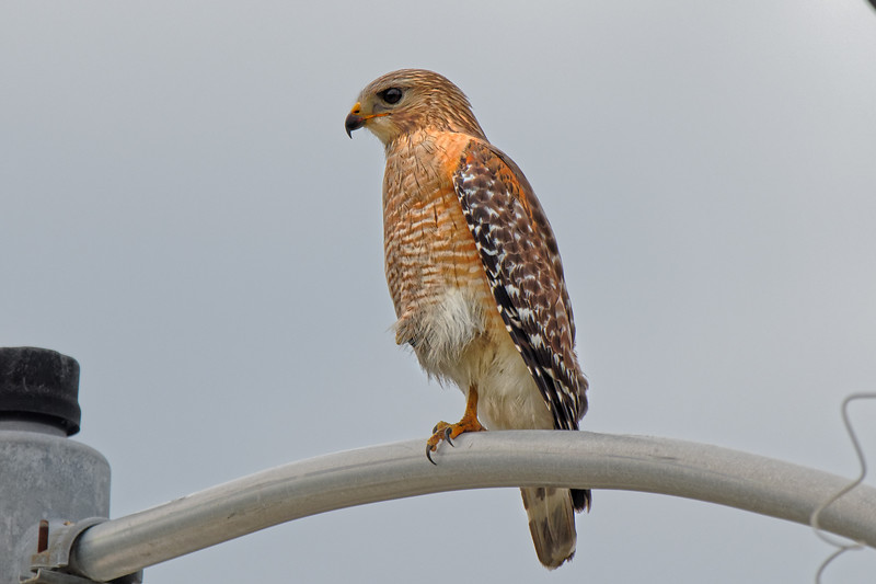 Hawk at Keystone Heights Airport