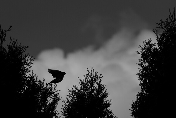"""May 21, 2011 :: Short Jump <br /> I was trying to get a shot of this bird silhouetted against the cloud <a href=""""http://themales.smugmug.com/Nature/Wildlife/16555532_5s4vy#1300407495_GQvTfMM-A-LB"""">http://themales.smugmug.com/Nature/Wildlife/16555532_5s4vy#1300407495_GQvTfMM-A-LB</a> I was pretty happy with how that came out.<br /> <br /> Then I lucked out and it decided to make the jump to the next tree.  I decided to make it bw, but I'm still not sure if I like the dark sky or should keep the blue sky <a href=""""http://themales.smugmug.com/Nature/Wildlife/16555532_5s4vy#1300407573_2qJXTJT-A-LB"""">http://themales.smugmug.com/Nature/Wildlife/16555532_5s4vy#1300407573_2qJXTJT-A-LB</a><br /> <br /> Let me know what you think.  I've never had much luck photographing birds before.  I guess I just need to be more patient!"""