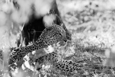 Leopard Linyanti Swamp, Botswana