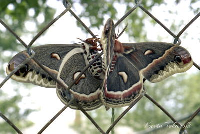 At first glance this may appear to be a single Cecropia Moth, but is actually a mated pair.