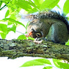 Gray Squirrel trying to take a nap