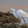 Snowy Egret Wading Around the Coquina