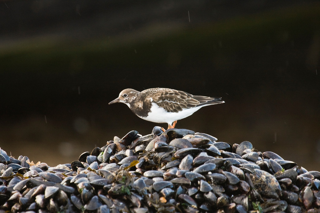 turnstone - taken on the Norfolk coast
