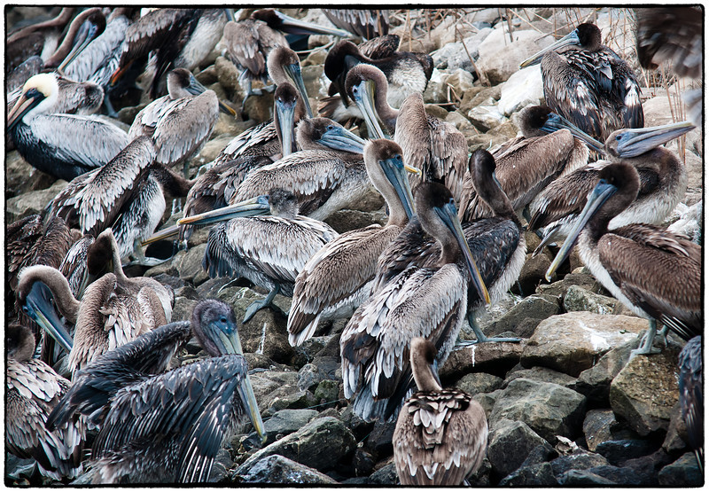 A pile of Pelicans...... on the rocks.