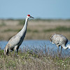 Hernando Beach Sandhill Cranes