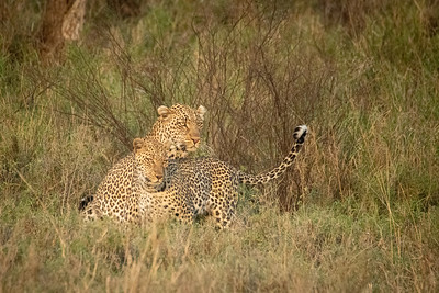 Leopards mating pair 2045