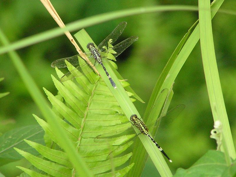 dragon flies bali aug 2010
