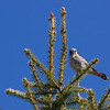 American Kestrel. This is actually a Falcon - the smallest and most common Falcon in North America. Unfortunately, they are experiencing serious declines due to loss of habitat, pesticides, and perhaps even West Nile Virus. Lucky to get this shot which took, patience, observation, stealth movement, and a steady, cramping hand at 400mm.