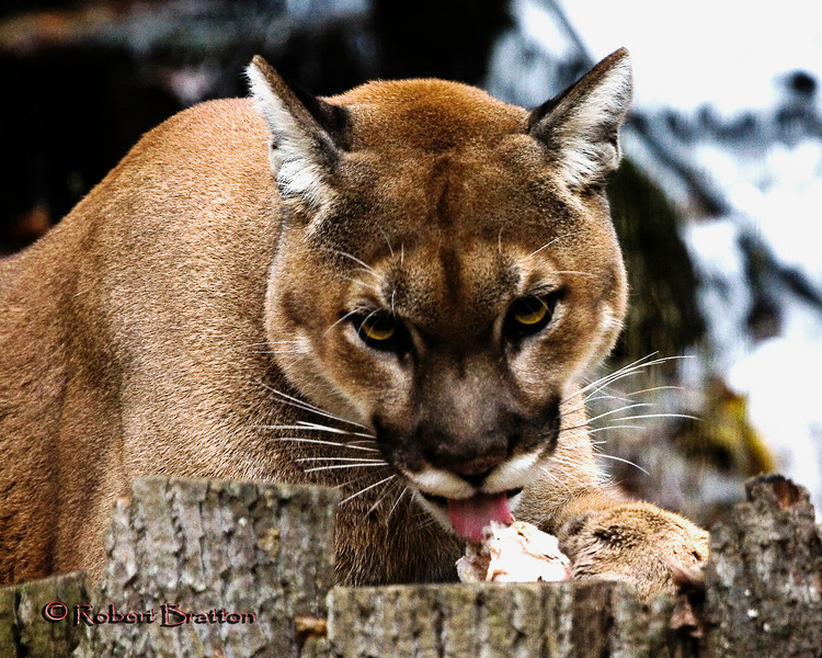 Fiesting Mountain Lion