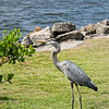 Great Blue Heron at  Claude Edge Front St. Park