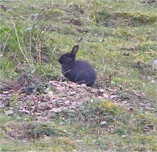 rabbit_PeakDistrict_April2005