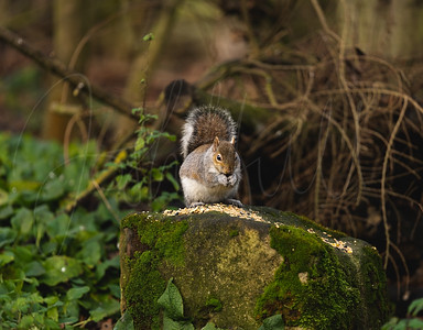 Another Grey Squirrel