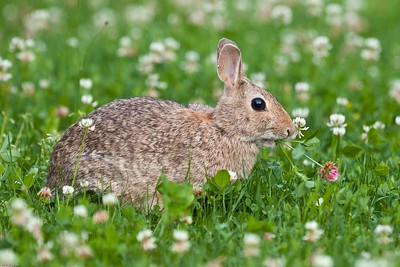 Cottontail #1