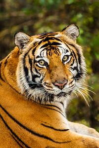 Sheba the tiger, #3