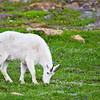 Mountain Goat grazing in Glacier National Park,
