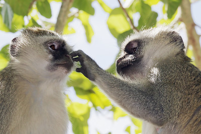 Vervet monkeys Zambezi River, Zambia