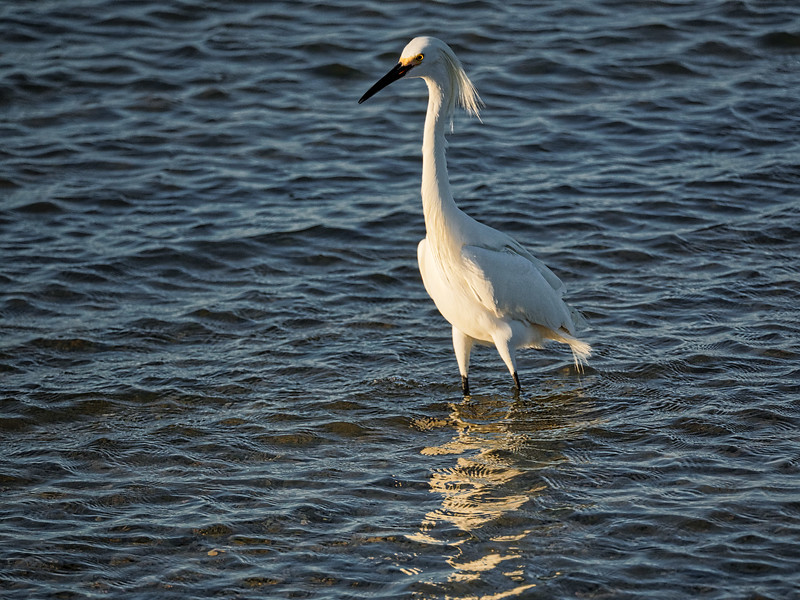 Egret near  Dunedin Causeway