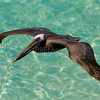 Brown Pelican - St. Thomas, U.S. Virgin Islands
