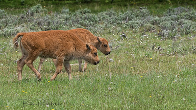 """Baby bison - """"red dogs"""""""