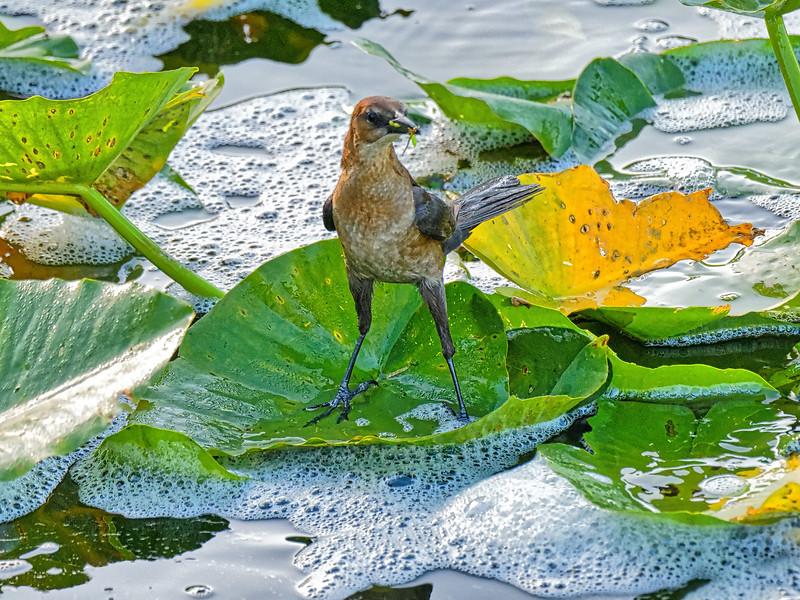 Mockingbird ? at Rodman Dam