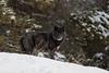 Black wolf, Banff National Park