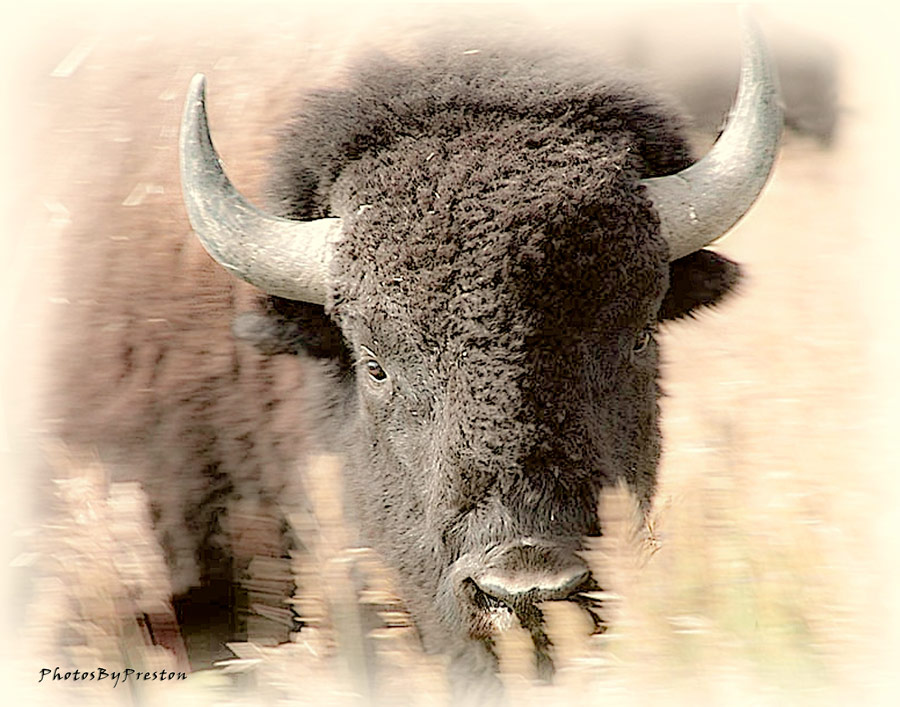 Deadlier Than A Gun.. Bison From Jackson Wyoming