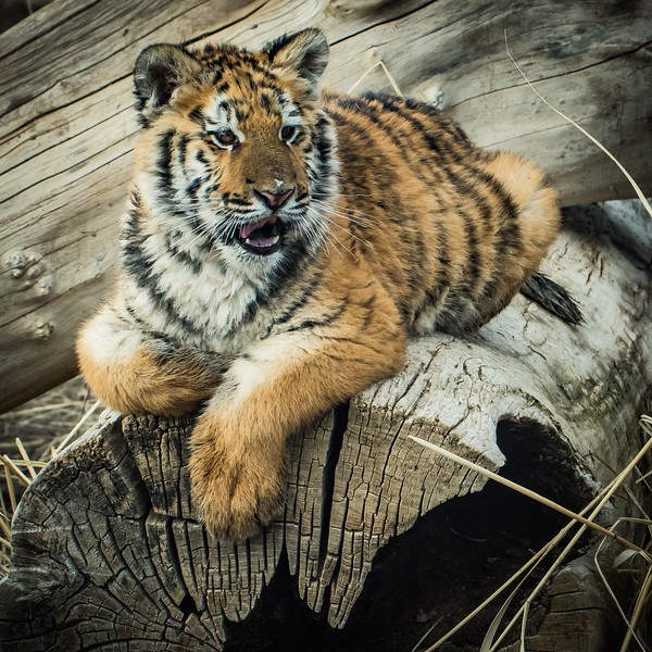 Lily Tiger 4534