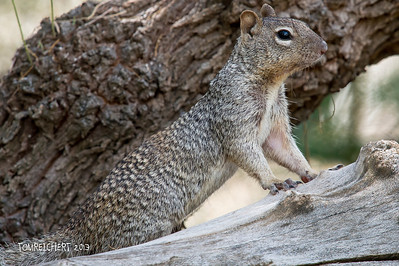 Rock Squirel - Arizona