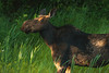 Moose Cow, Algonquin Park