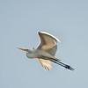 Great Egret south of Palatka