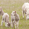 New born domestic sheep, Flat Head Lake, Montana