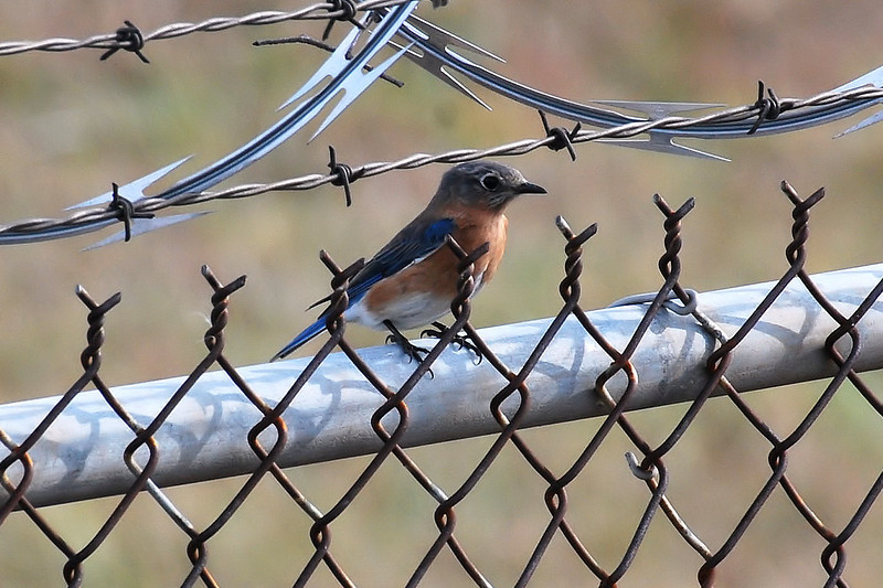 Male bluebird on the perimeter fence - Charlotte airport - Dec 2013