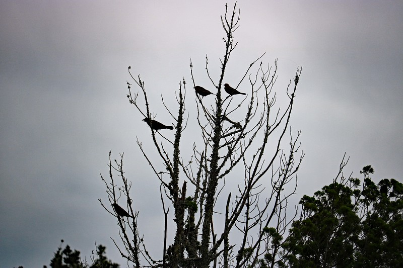 Four Blackbirds Sitting in a Tree