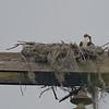 Osprey chick in nest at Paynes Prairie
