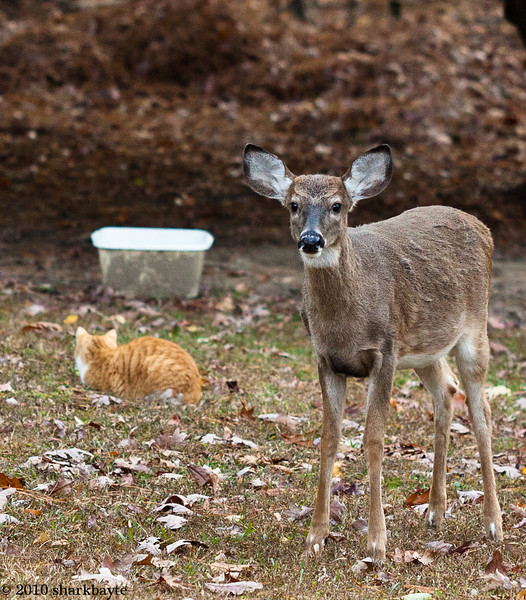 I was shooting something else. Lost in my own world, when I heard rustling of leaves, figured it was a cat or something. But this cutie wanted to see what I was doing. We talked a bit and she returned to where the other five deer were resting. Day 336 (2010.12.02) #365Project @sharkbayte