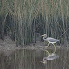 Tricolored Heron at Faver-Dykes