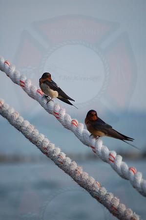 Barn Swallow (Illinois)