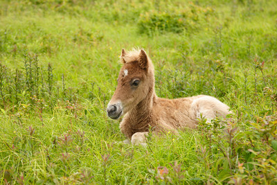 Young wild pony in a field near the Appalachian Trail