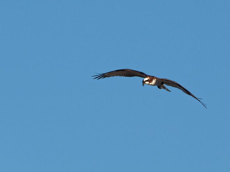 Osprey Flies over Rodman Dam