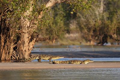 Nile crocodiles Zambezi River, Zimbabwe