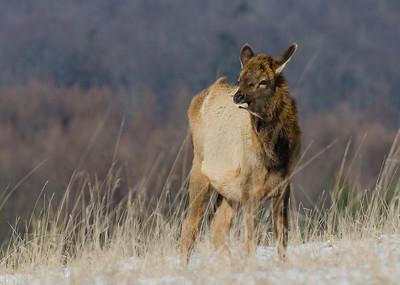 Young Elk