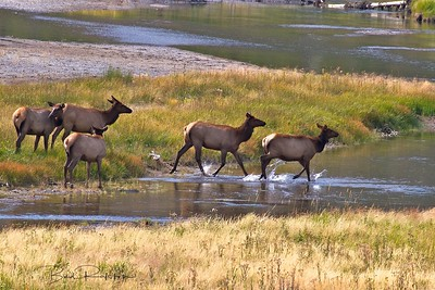 Elk harem Madison River Valley Wyoming